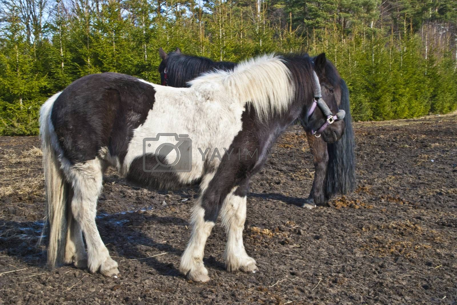The horses on the picture I met at a riding school in Halden located in county of Østfold, Norway.