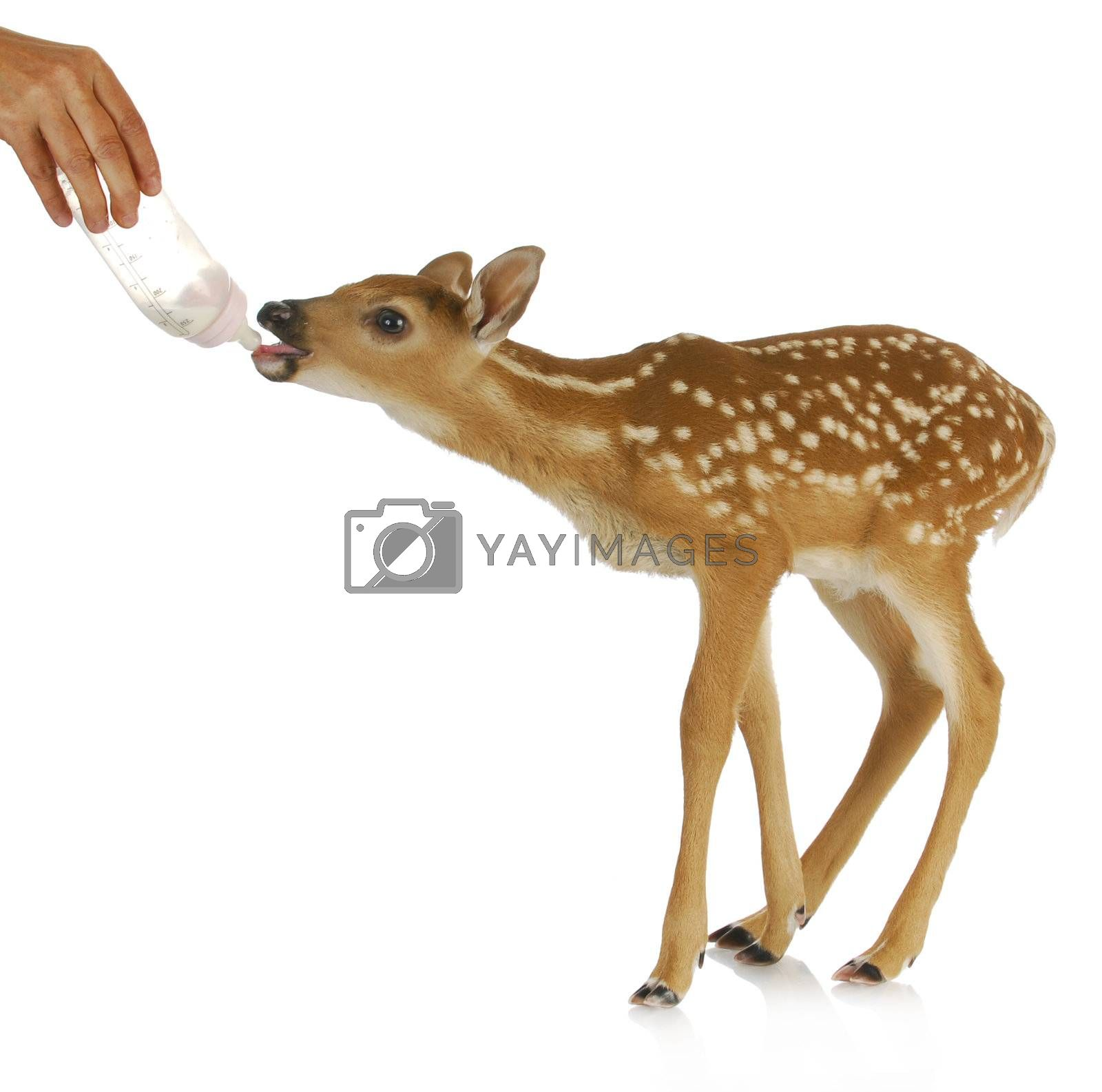 hand raising fawn - woman bottle feeding baby doe isolated on white background