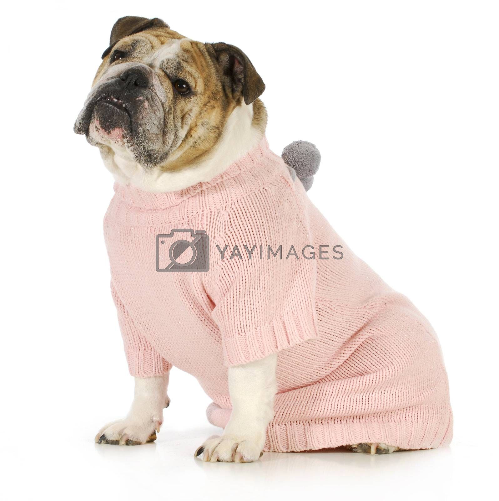 dog wearing sweater - english bulldog wearing pink dog coat sitting on white background