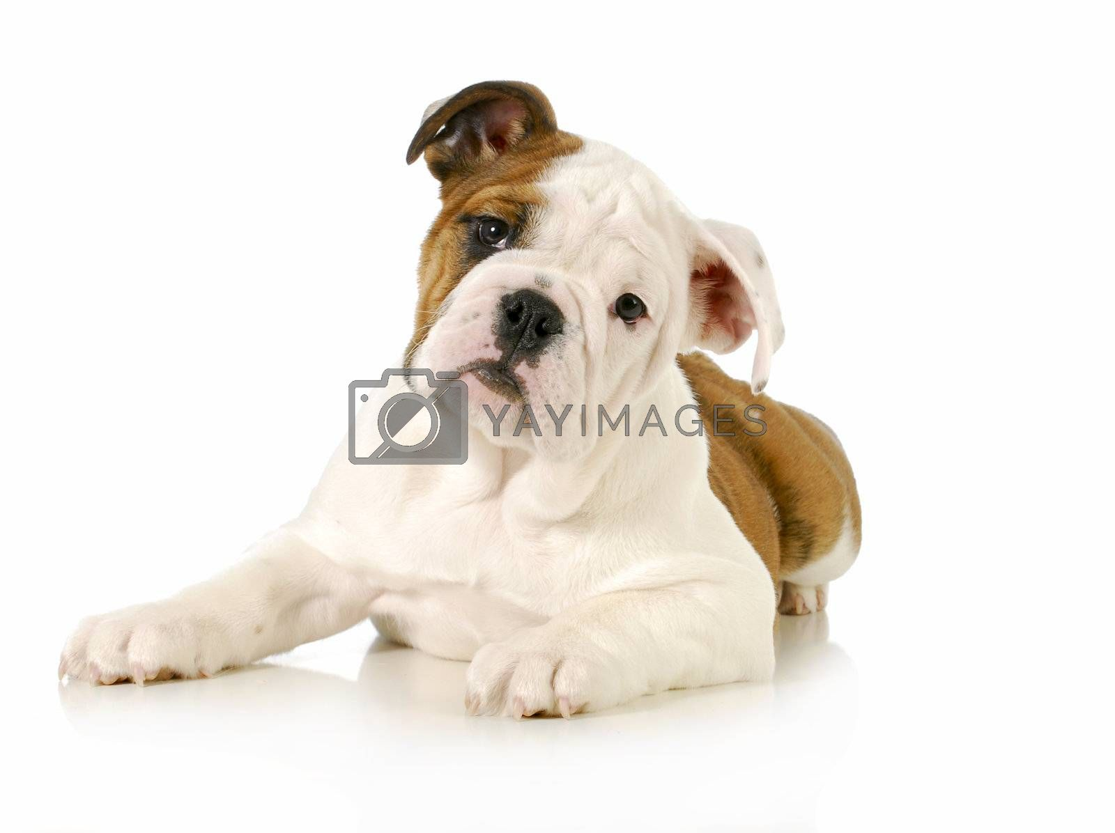 english bulldog puppy laying down looking at viewer on white background - 4 months old
