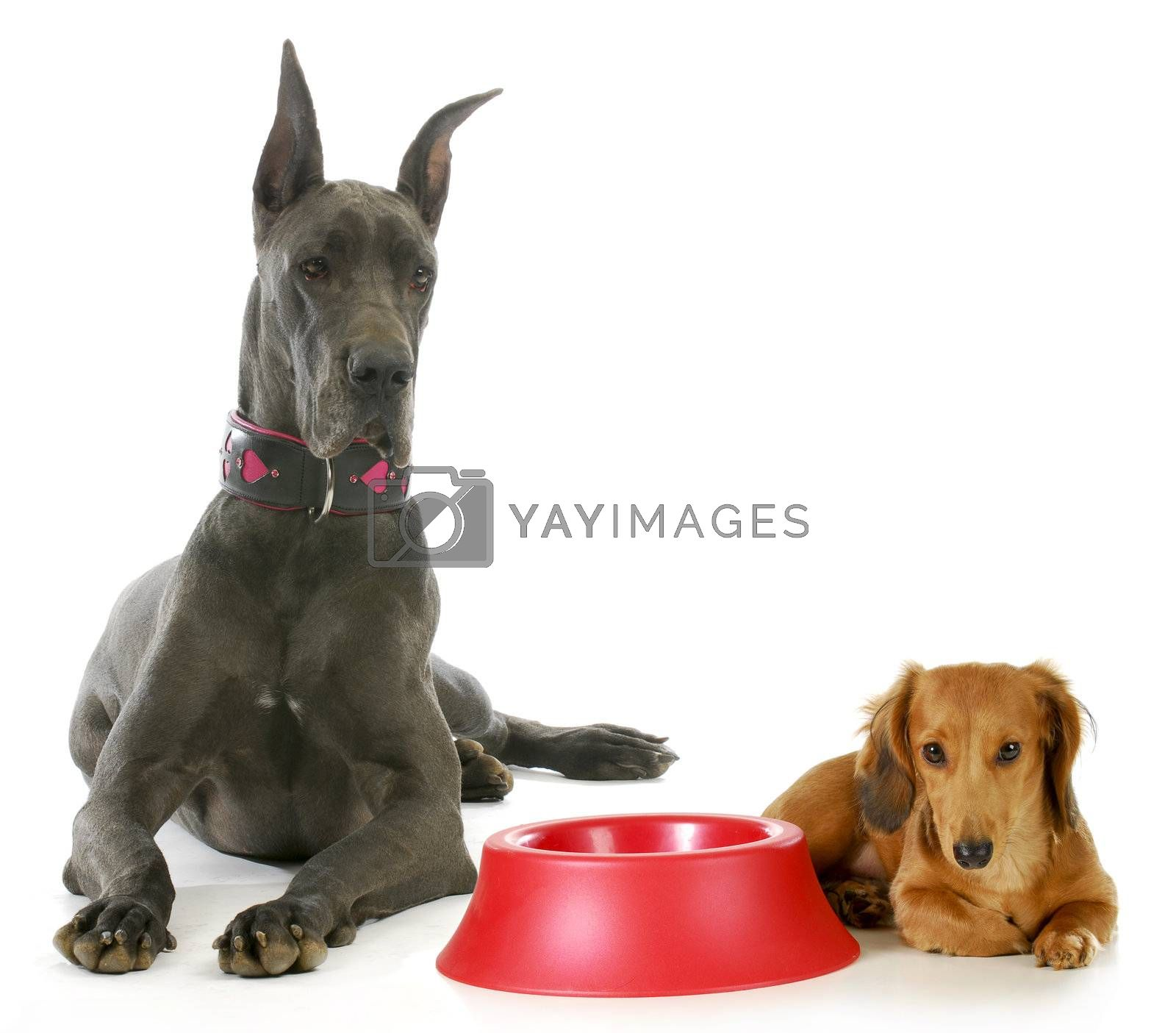 dog dinner time - great dane and miniature dachshund waiting beside empty food bowl on white background
