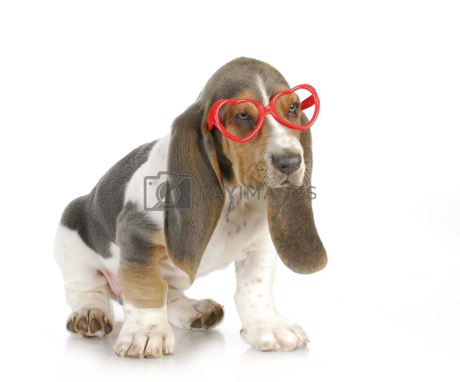 puppy love - basset hound puppy wearing heart shaped glasses with reflection on white background