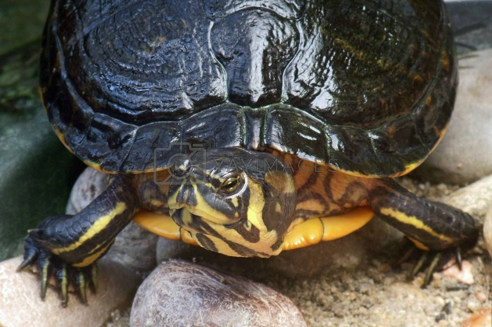 high angle frontal detail of a freshwater turtle in stony ambiance