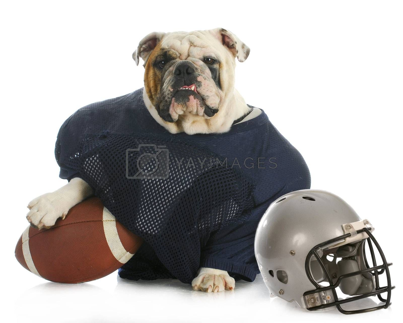 sports hound - english bulldog dressed up like a football player on white background