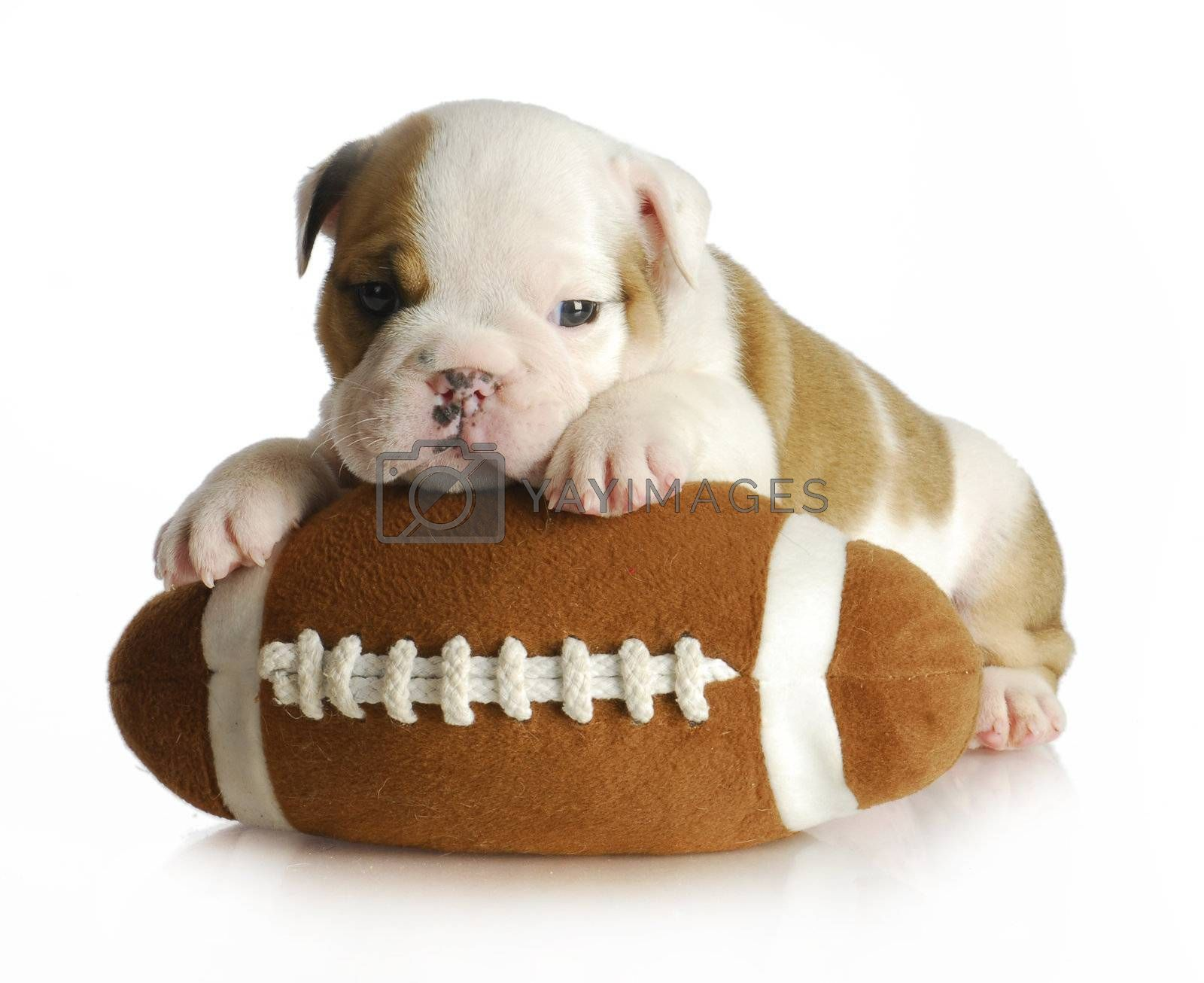cute puppy with stuffed football - english bulldog 5 weeks old