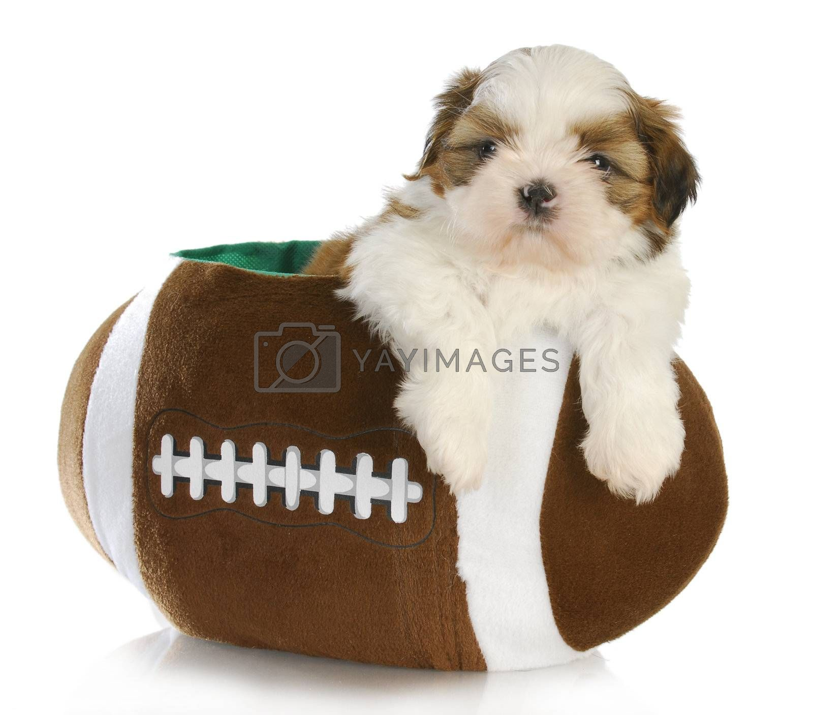 cute puppy - shih tzu puppy sitting inside a stuffed football - 6 weeks old