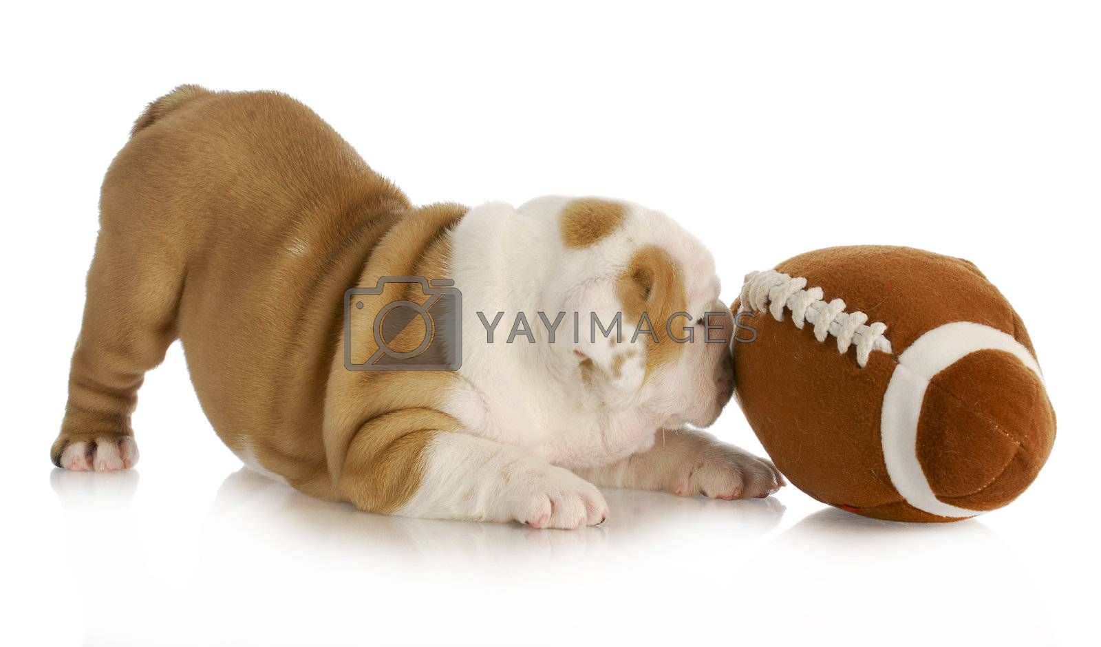 playful puppy - english bulldog puppy playing with football