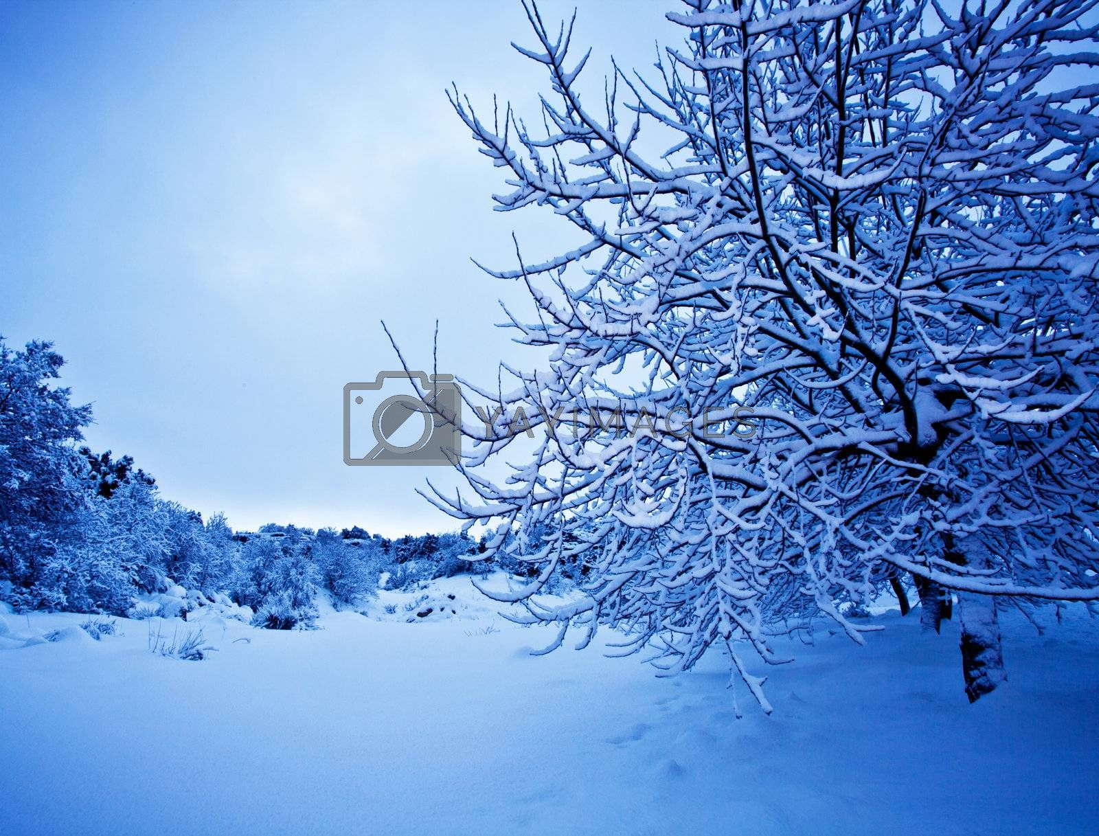 Image of beautiful wintertime landscape, blue natural background, tree covered with snow, branch of wood cover in hoarfrost, snowy weather, winter holiday, white frost in the forest
