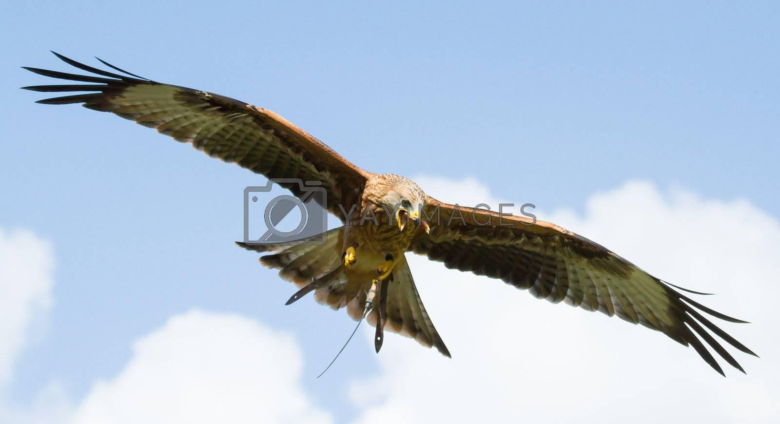 A close-up of a long-legged buzzard