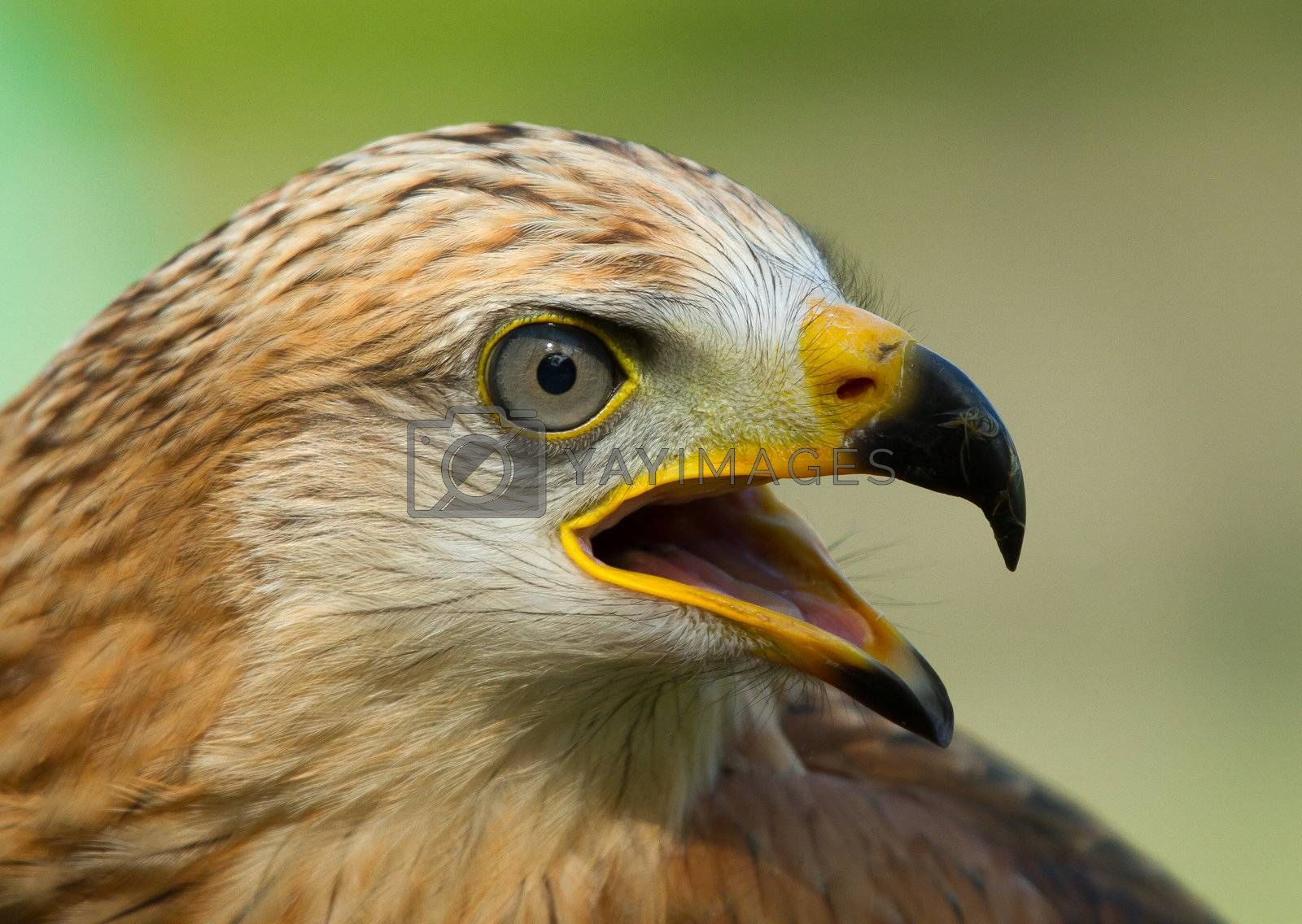 Royalty free image of A long-legged buzzard by michaklootwijk