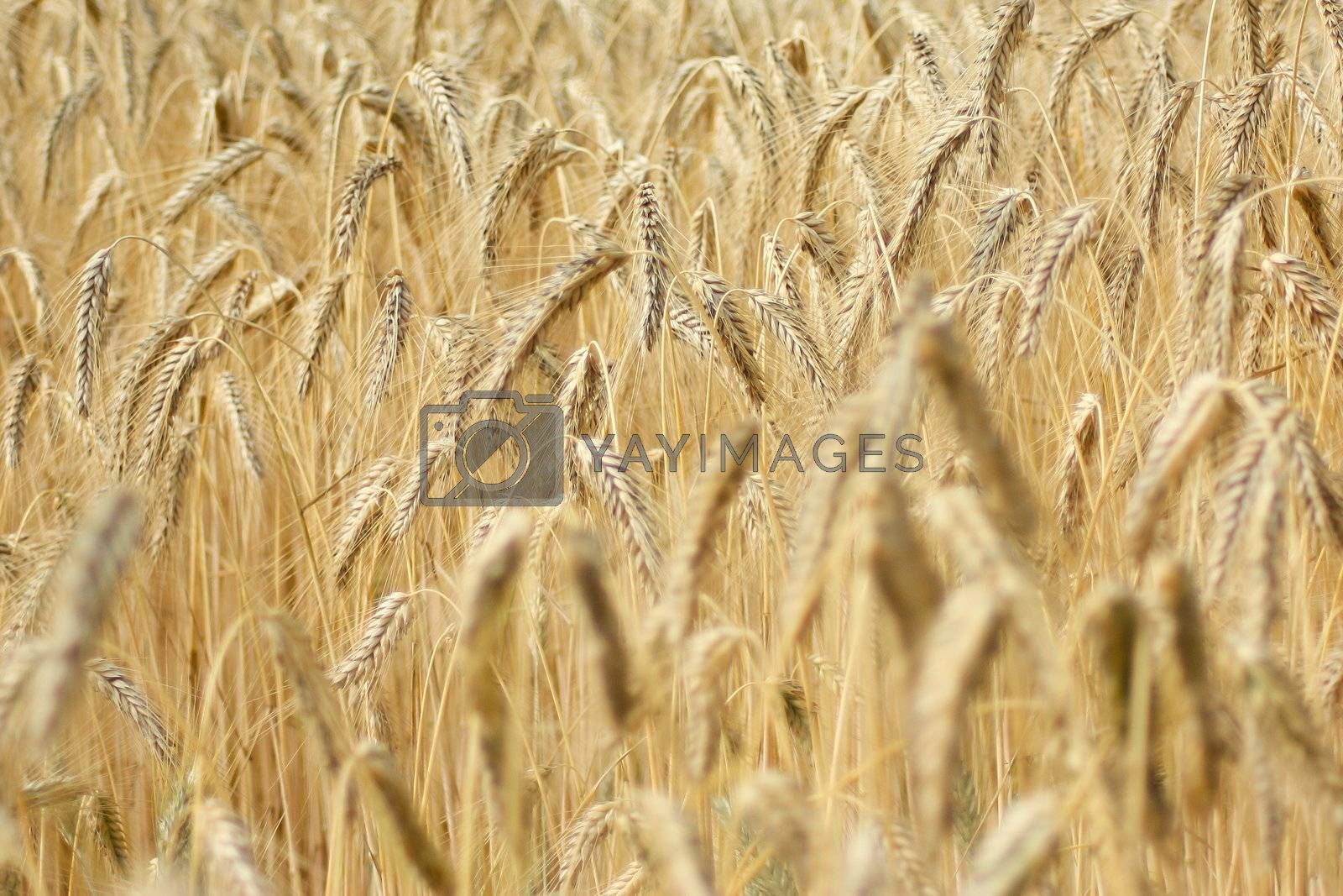 A large field of wheat in France