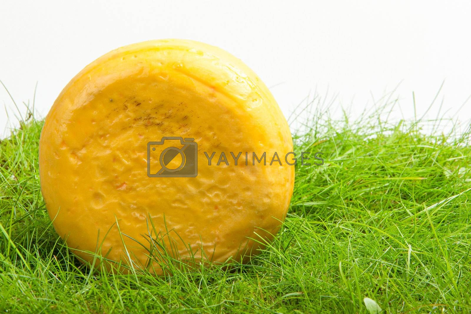 Round onion cheese isolated in the green grass (Holland)