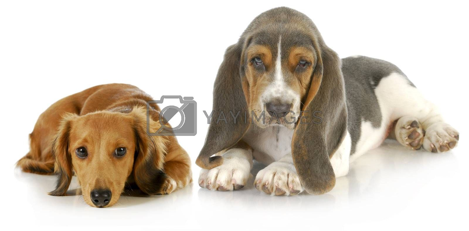 two puppies - basset hound and miniature dachshund puppy laying down looking at viewer on white background