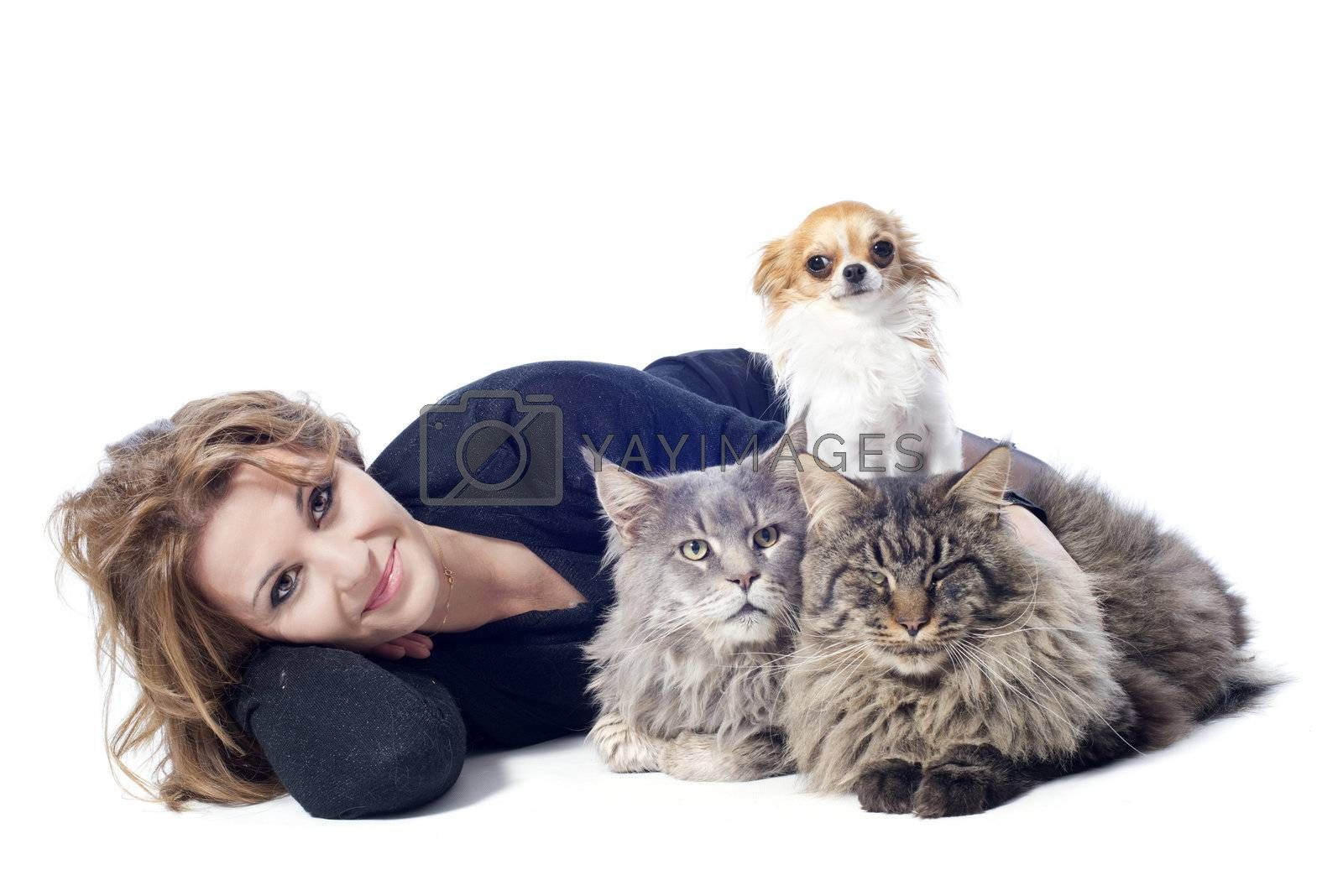 portrait of a purebred  maine coon cats , chihuahua and woman on a white background