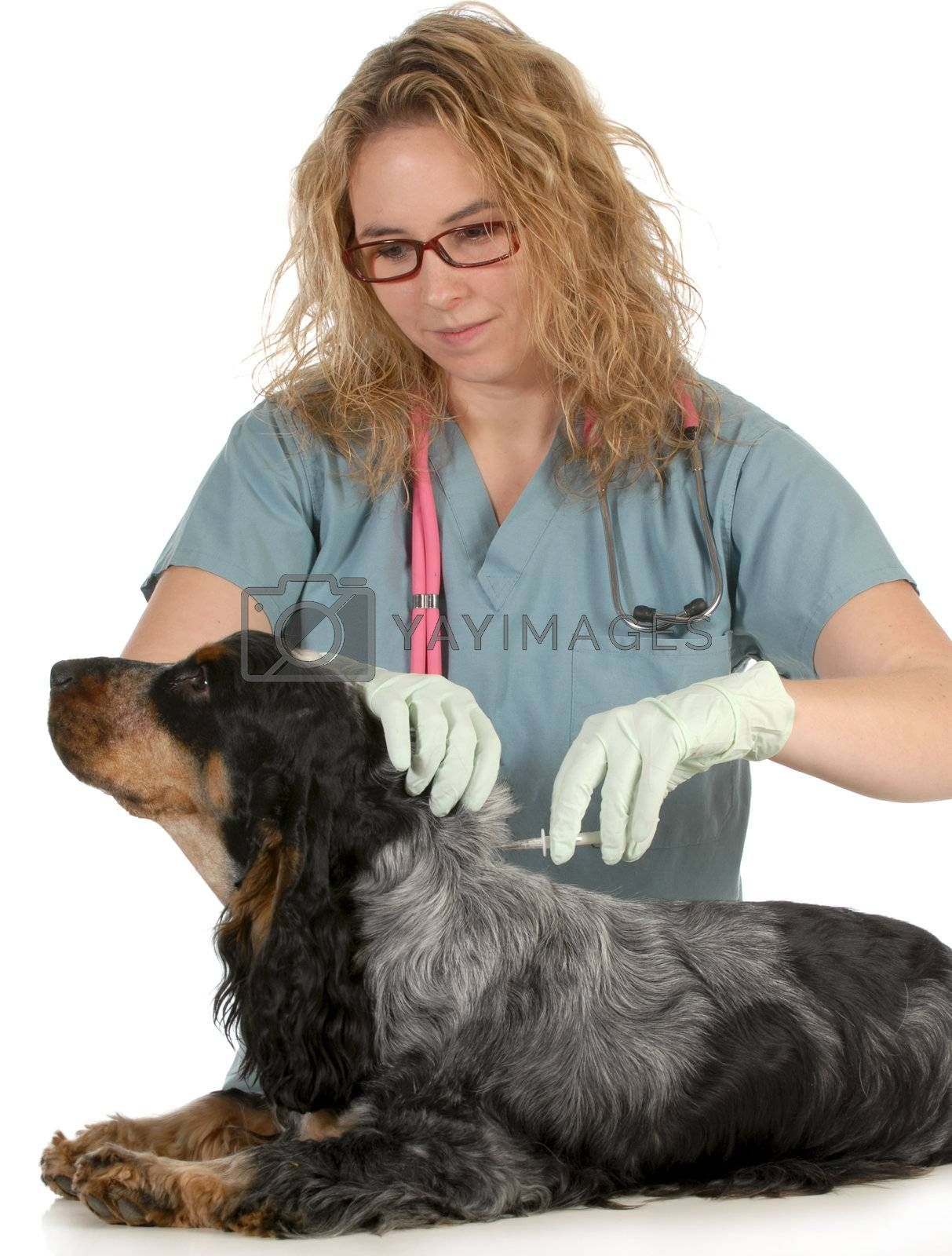 veterinary care - english cocker spaniel being microchipped by a veterinarian isolated on white background