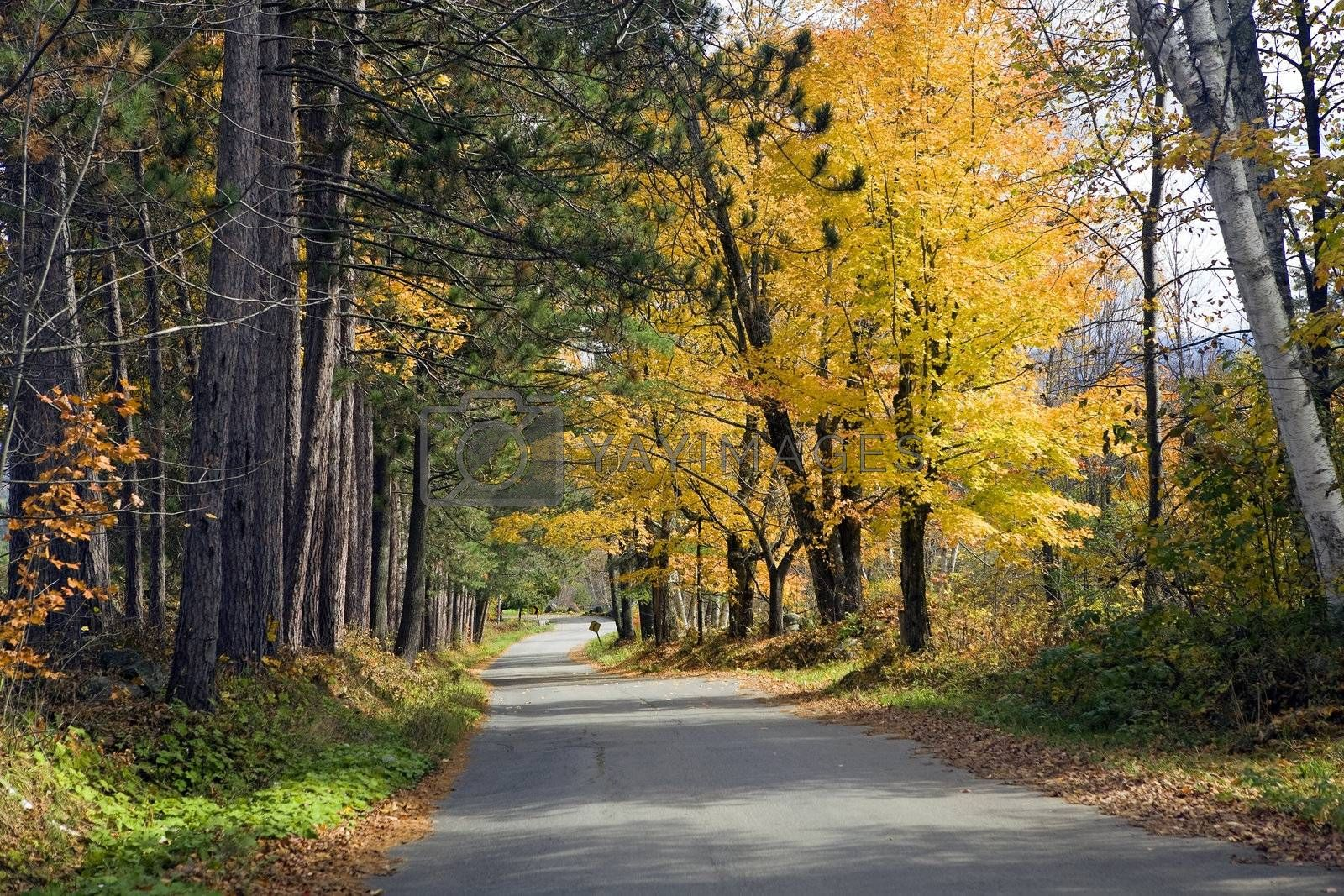 Yellow Maple and green pine trees line a country road with vibrantly colored Autumn leaves.