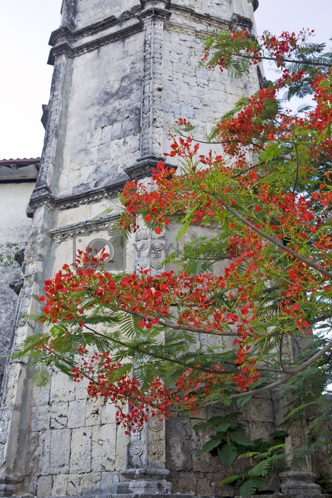 Vibrant red blossoms of the Flamboyant Flame Tree, Delonix regia, frame one of the limestone belltowers of the Baroque architectural design of the San Nicolas Tolentio parish church in Dimiao, Bohol Island, Bohol, Philippine Islands.