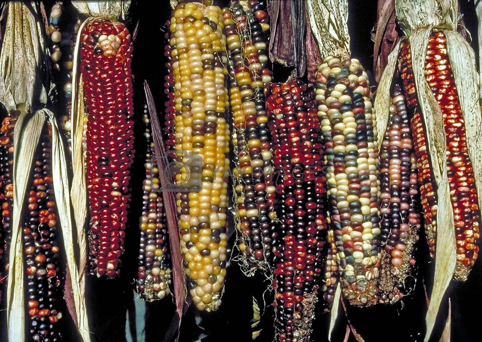 Several ears of colorful Indian Corn cobs hanging in the sun.