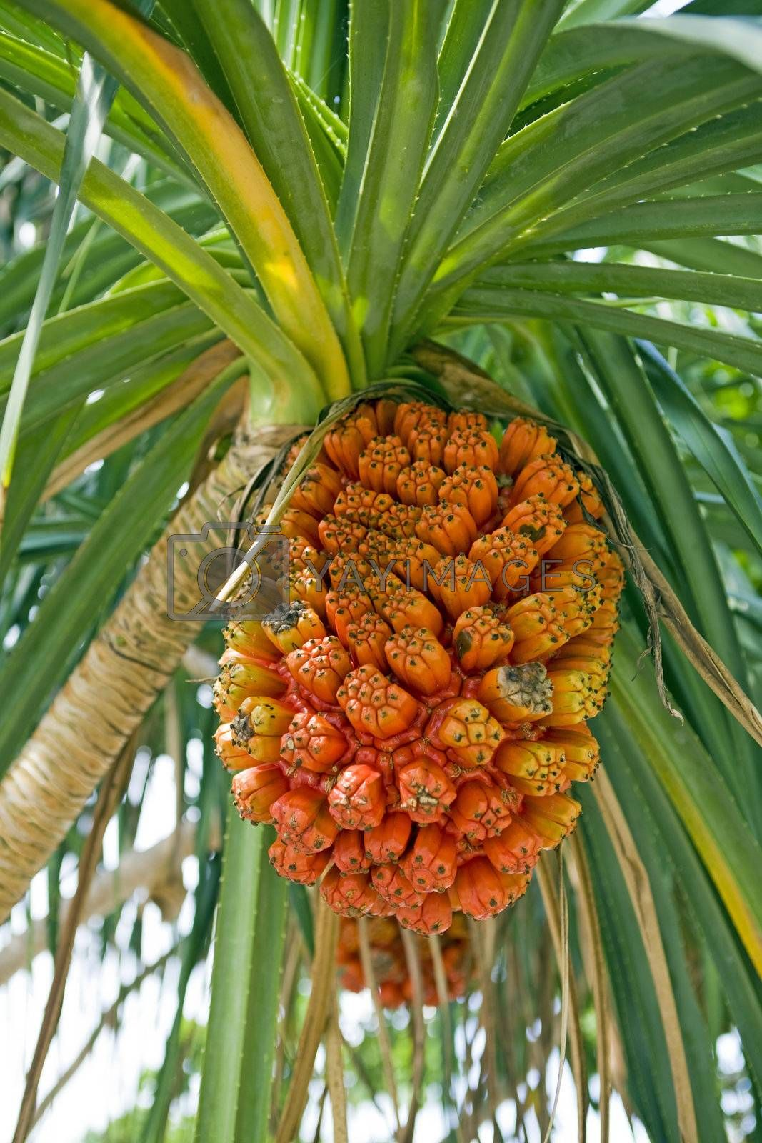 Orange, ripe pandanus fruit, also screw-pine, hanging from a tree ripe and ready for harvest. Above are its green, saw-tooth leaves.