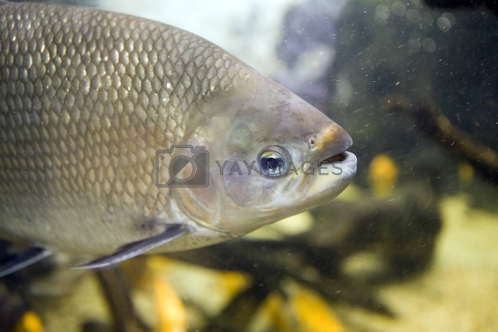 Close up of a freshwater Tambaquifish, Colossoma macropomum, showing silver scales, gills, eye, nostril and open mouth. The fish is swimming in an aquarium.