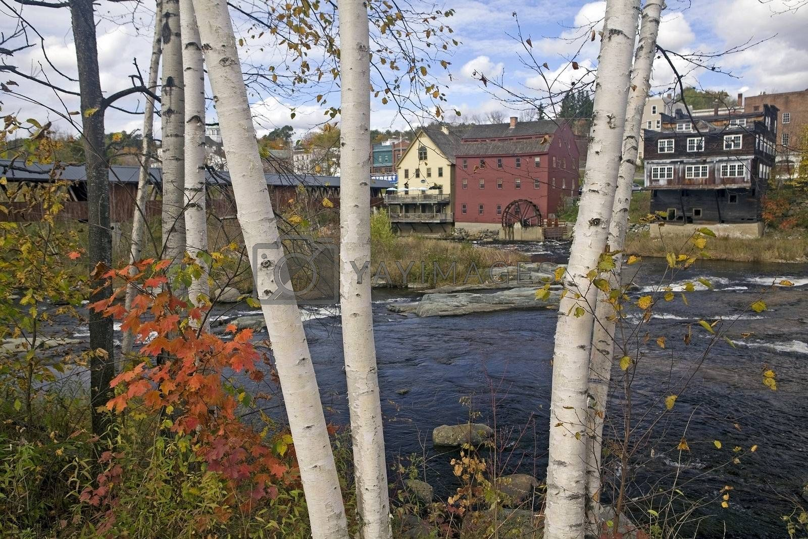White birch trees with colorful autumn foliage growing along the Ammonoosuc River flowing through Littleton, NH. Background of blue sky, white clouds, covered bridge and old mill with water wheel.