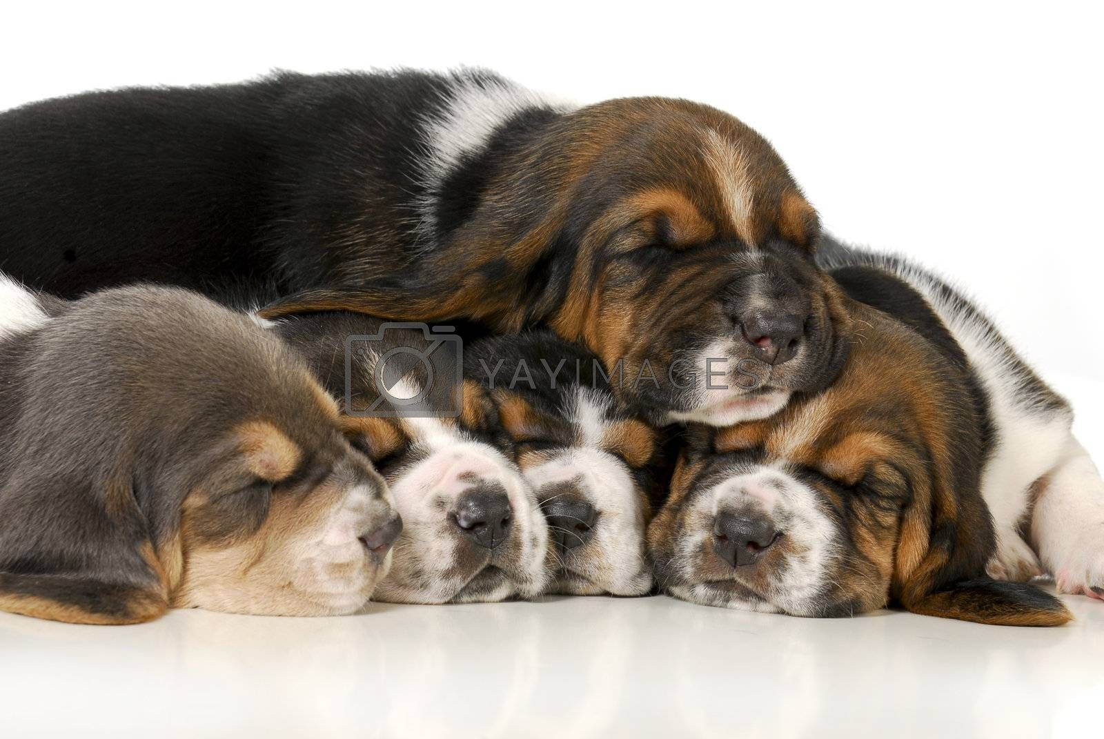 pile of puppies - litter of basset hound puppies - 3 weeks old