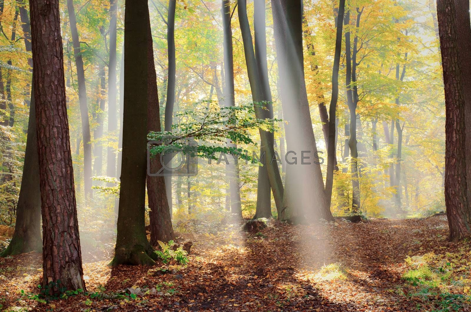 sunbeams in autumnal forest