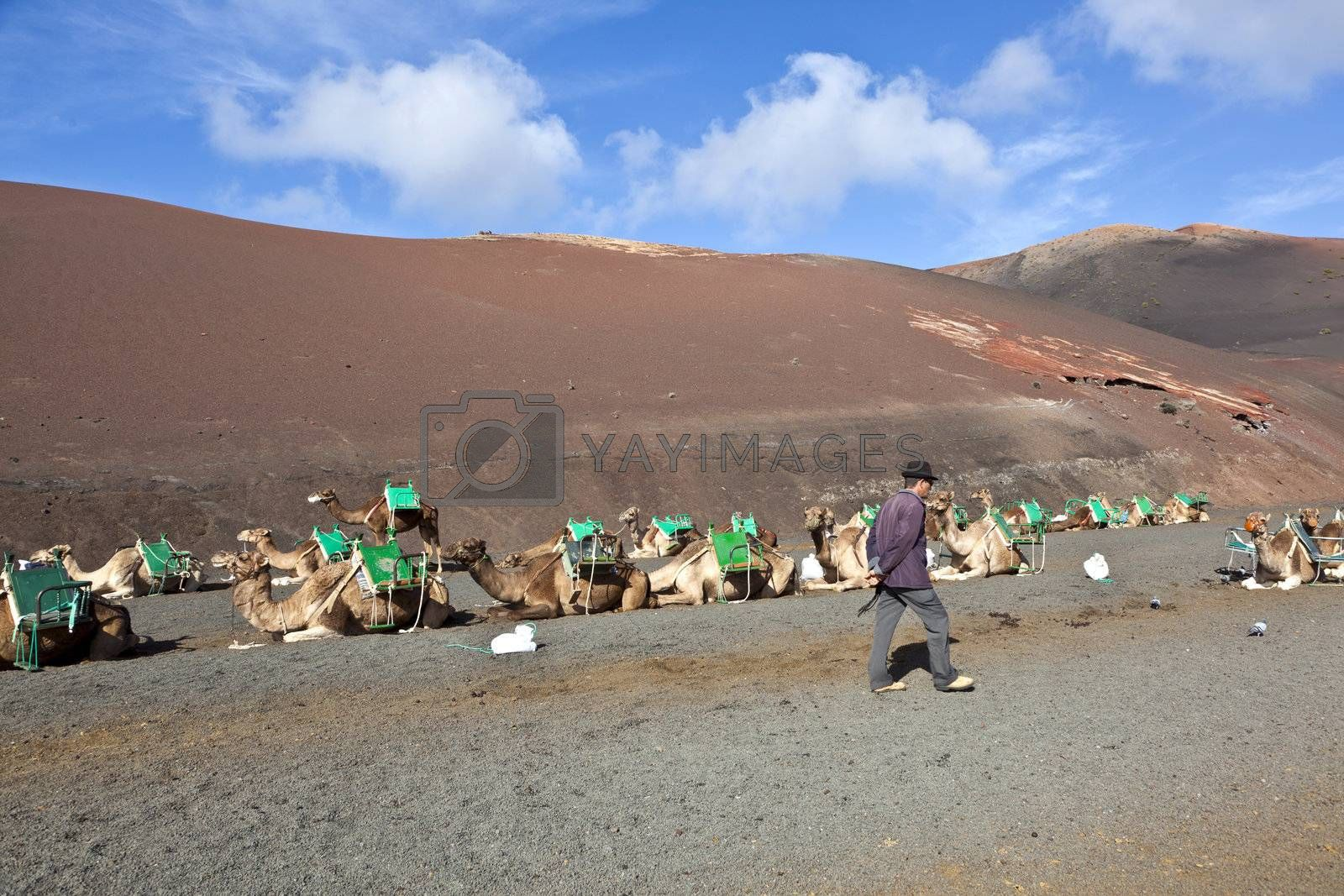 TIMANFAYA NATIONAL PARK, LANZAROTE, SPAIN - DECEMBER 26: camel rider waiting for tourists riding on camels through the famous Timanfaya National Park in December 26, 2010 in Lanzarote, Spain