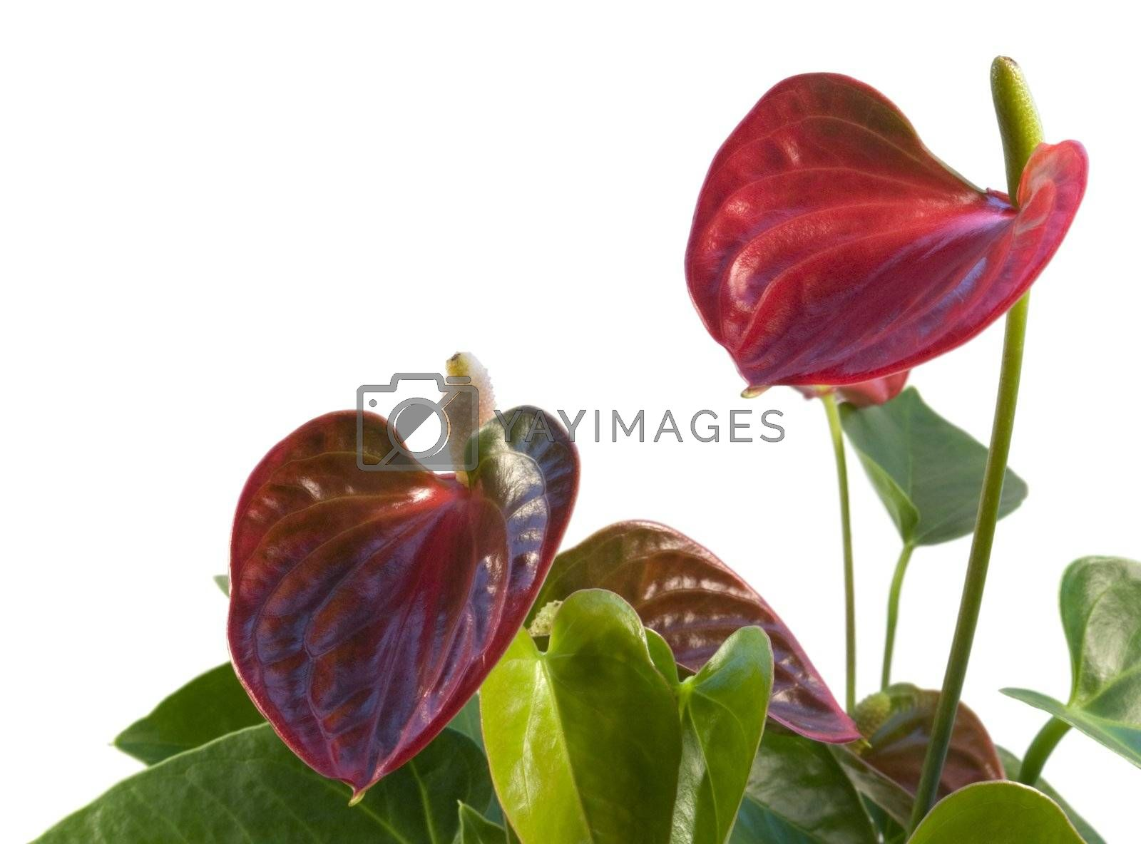 detail of a red Flamingo Flower in white back