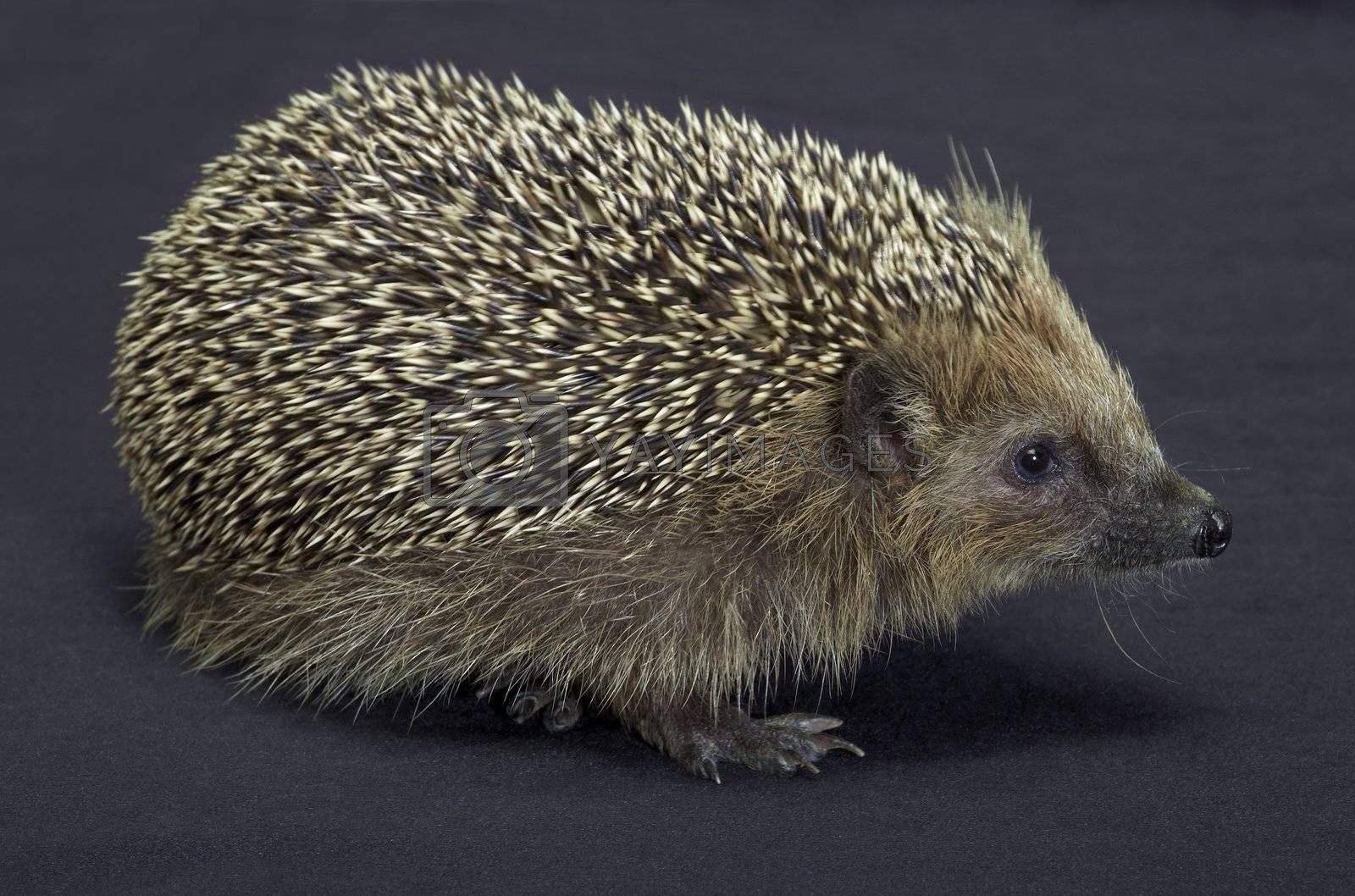 angle shot of a young hedgehog. Studio photography in dark back