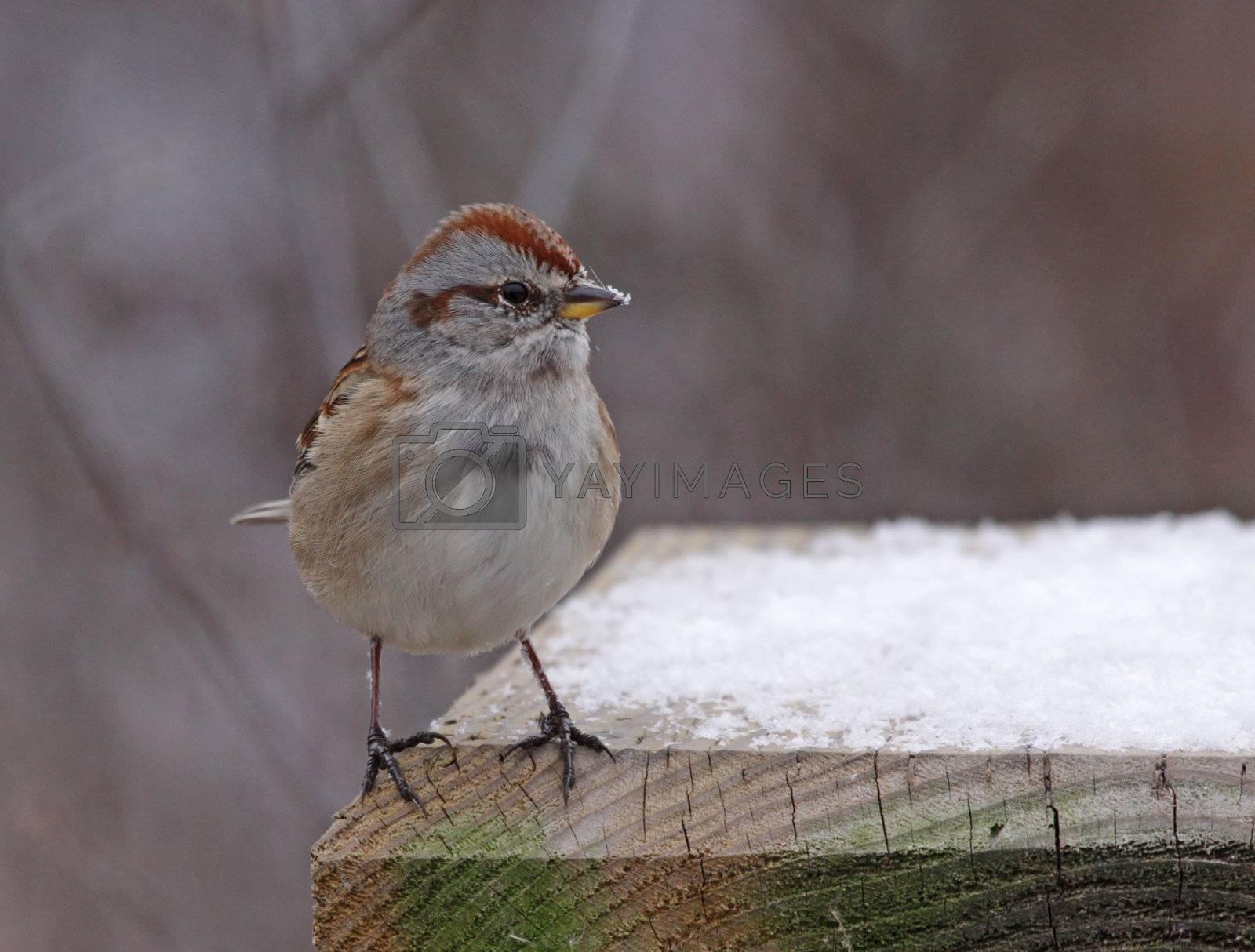 An American Tree Sparrow (Spizella arborea) sitting on a  bird feeder in winter.  Shot in Southern Ontario, Canada.