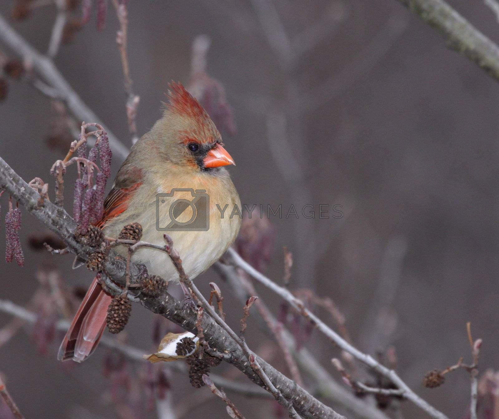 A female Northern Cardinal (Cardinalis cardinalis) sitting in a tree, in winter.  Shot in Southern Ontario, Canada.