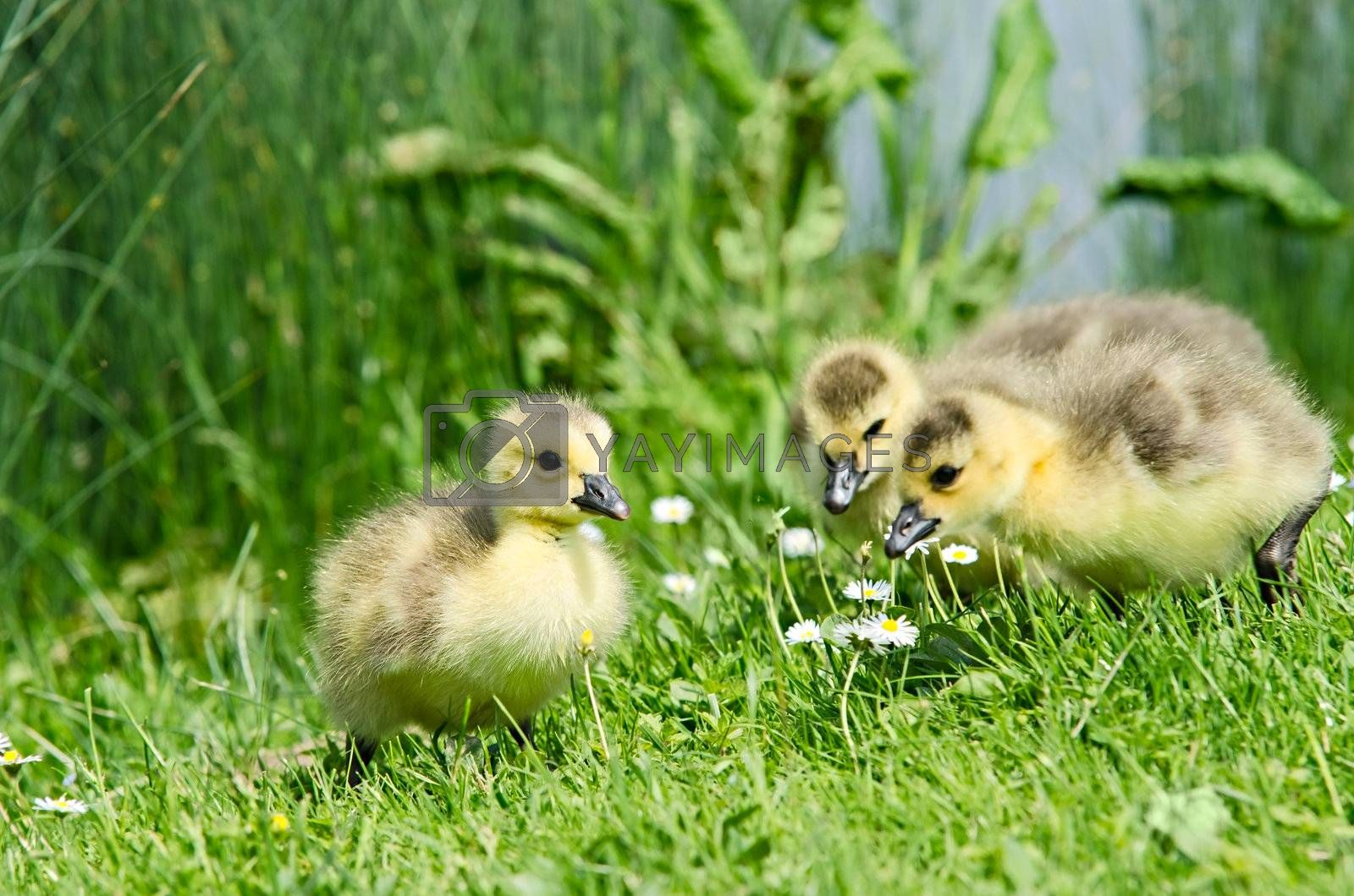 3 geese chicks enjoying the first spring in grass