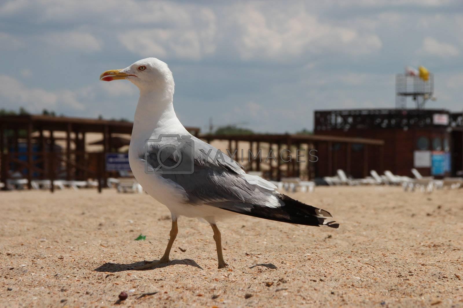 seagull on a sandy beach nice walks