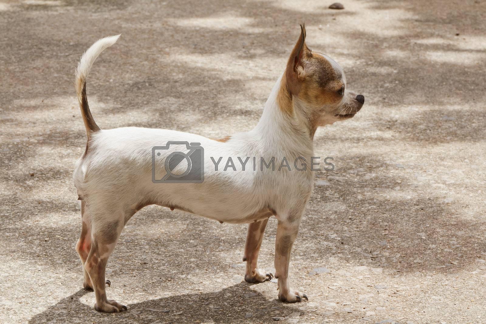 Chihuahua standing on concrete for sunbathe, chihuahua like sunbathe everyday