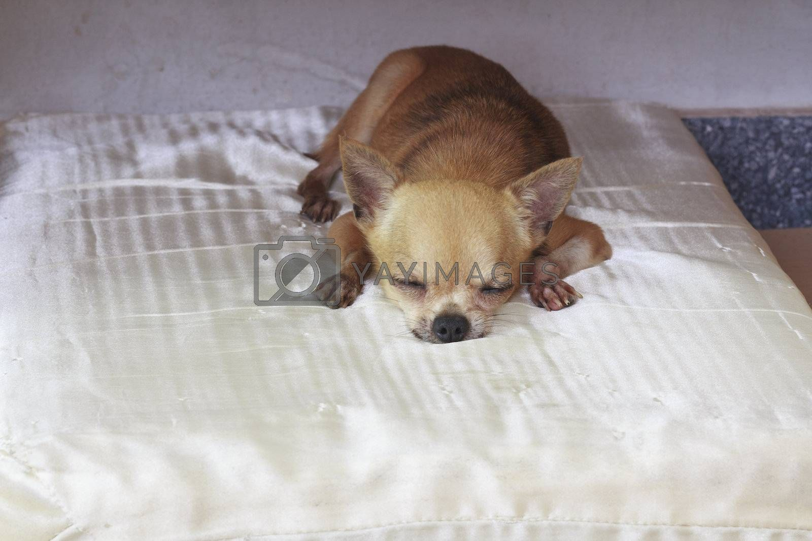 Chihuahua resting on bed