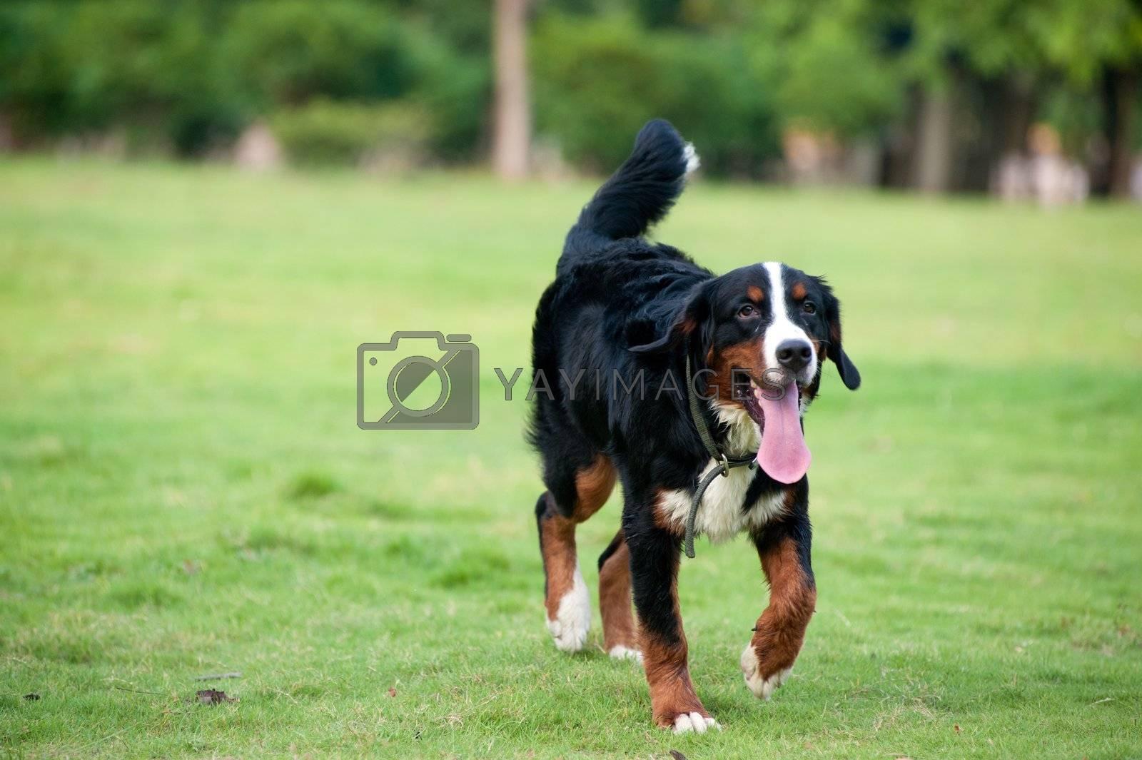 Bernese mountain dog walking on the lawn
