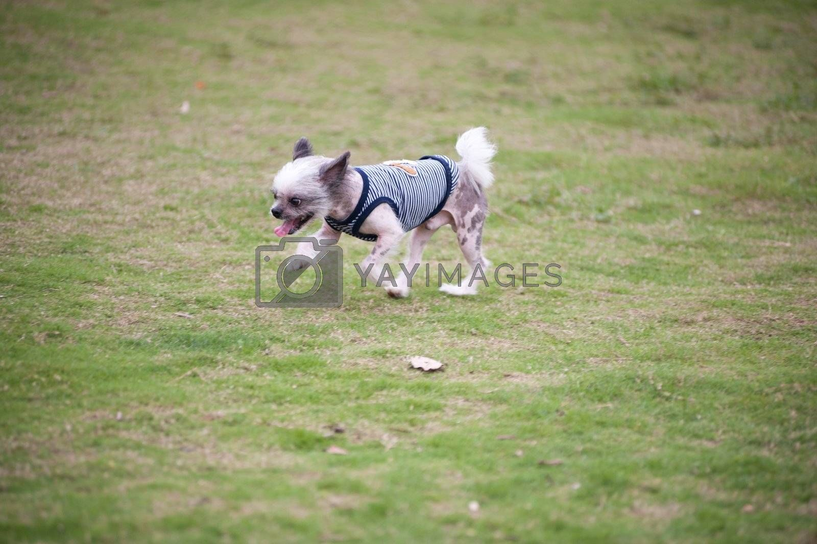 Chihuahua dog running on the lawn