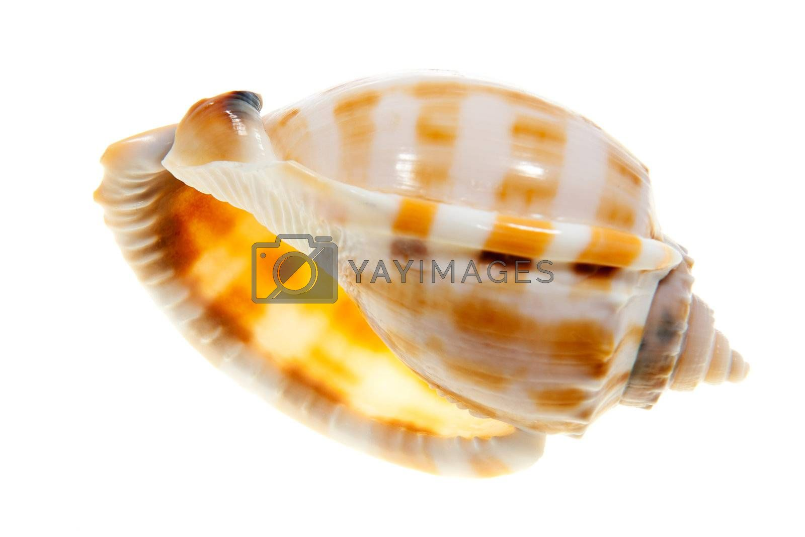 Trumpet shell isolated on white background