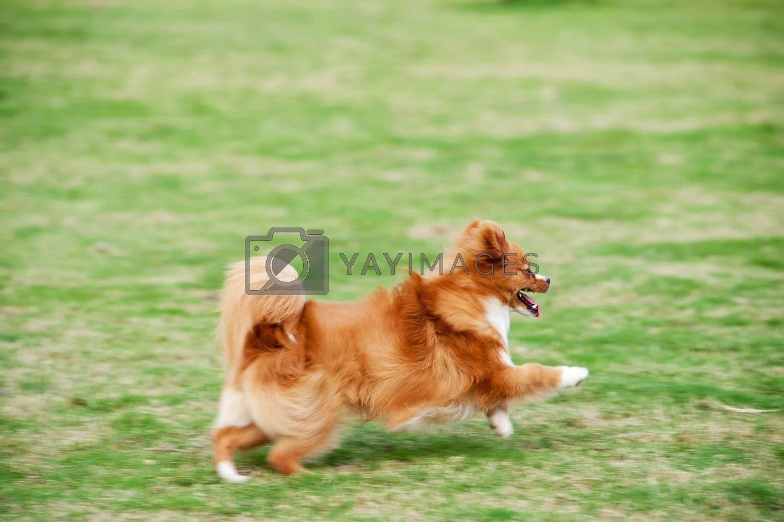 Pomeranian dog running fast on the lawn