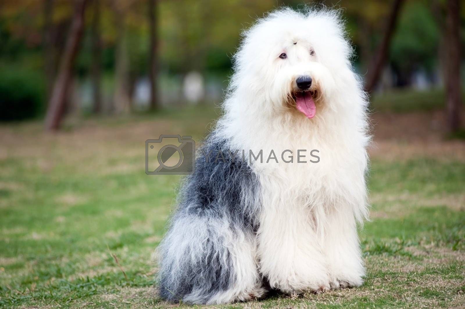 An old English sheepdog standing on the lawn