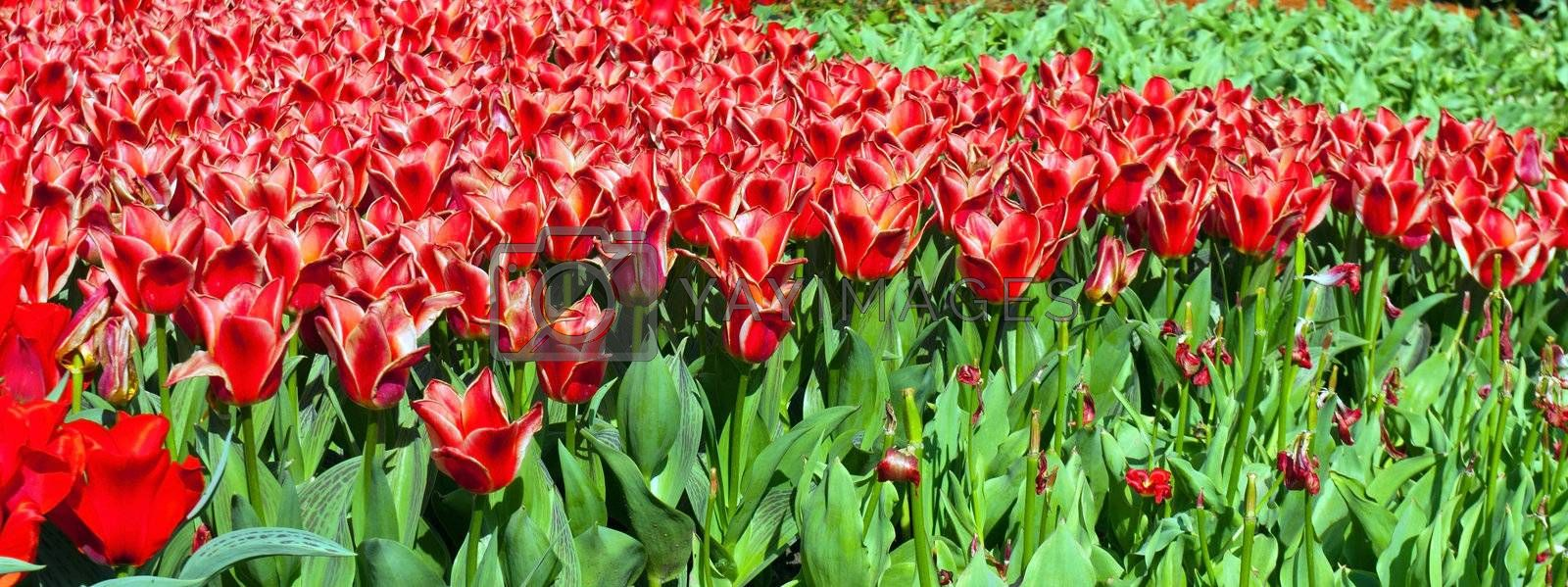 tulips red spring bed horizontal