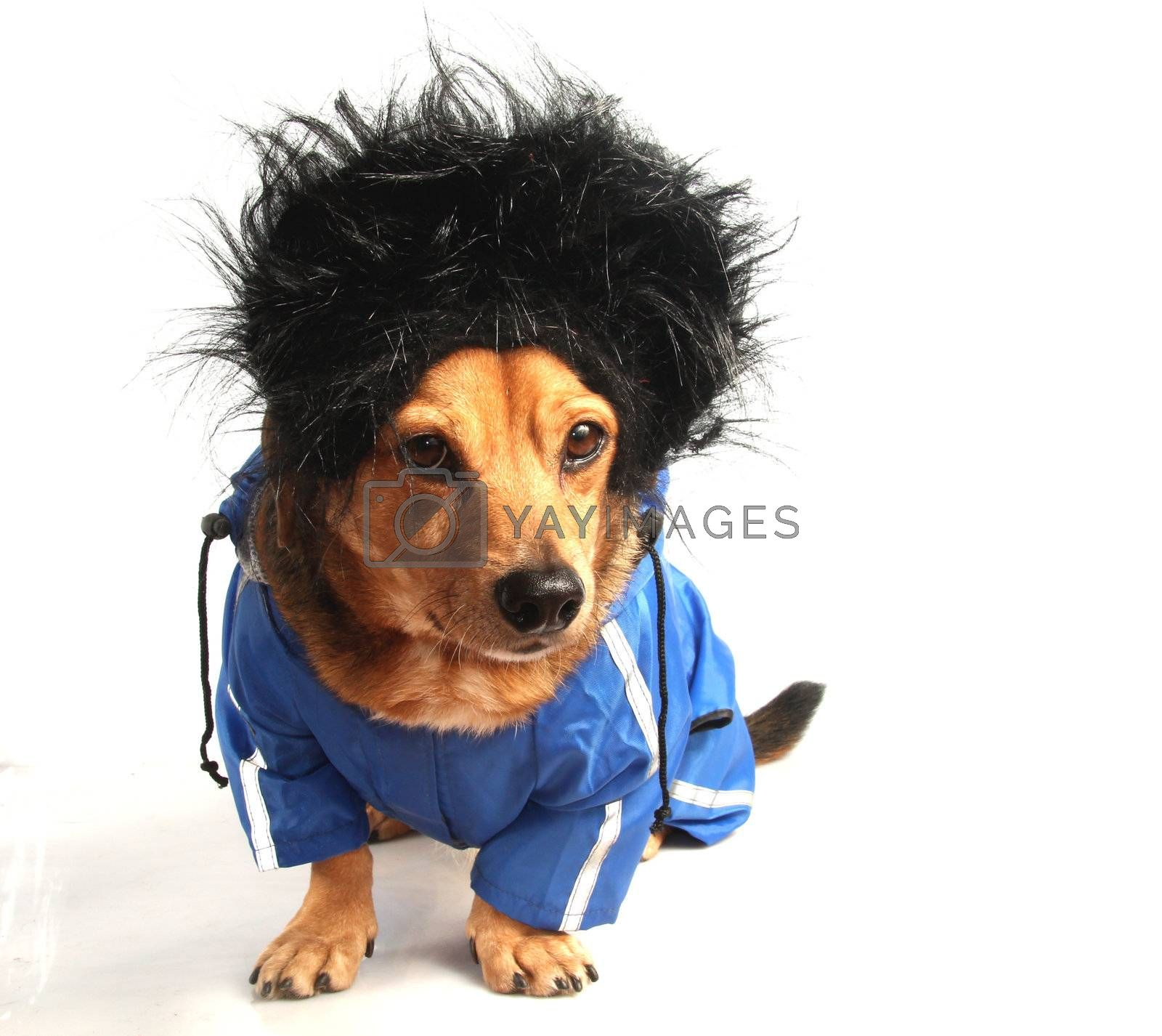 a little dog with the hair black in the storm