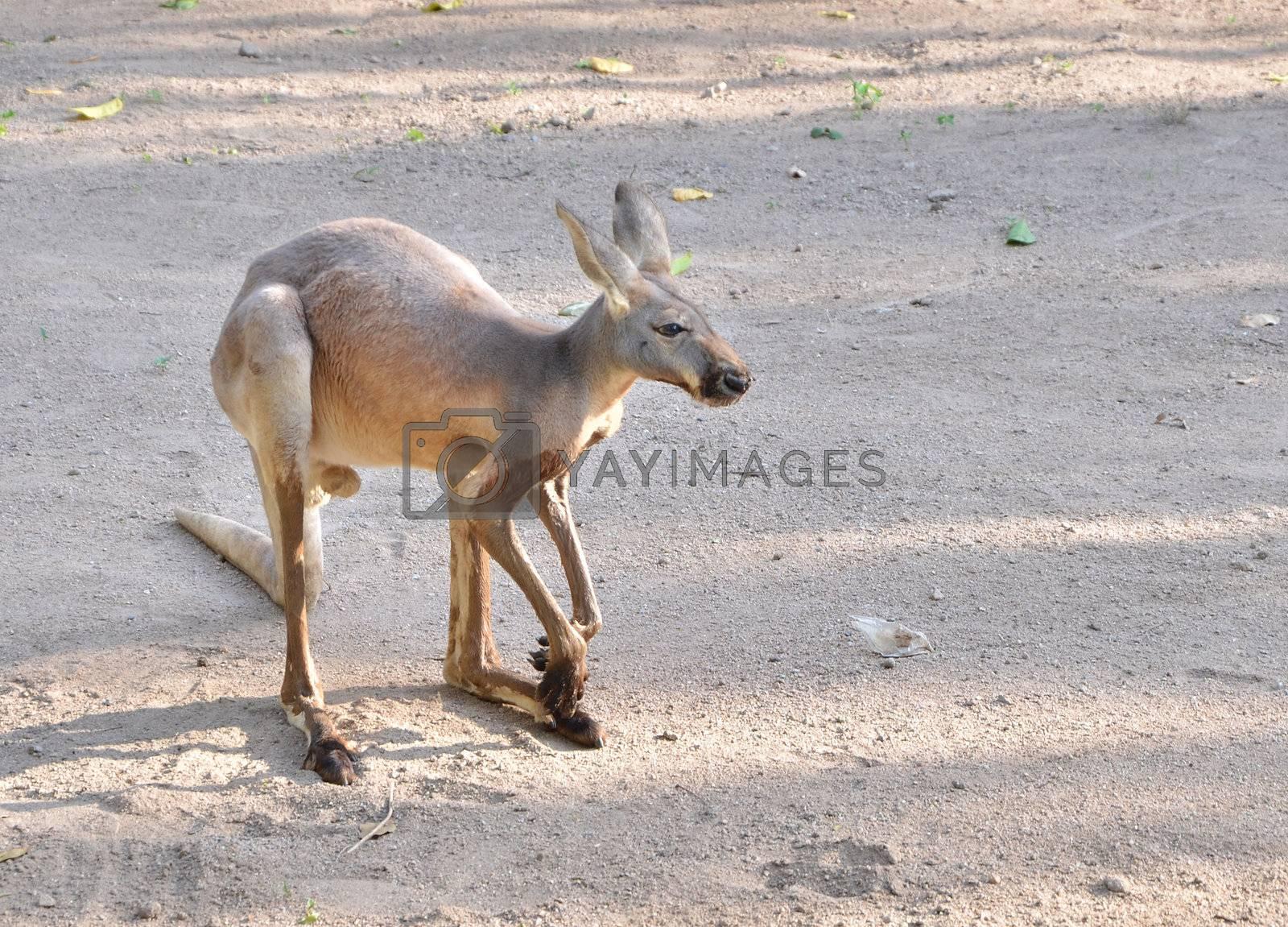 Grey Kangaroo on sand