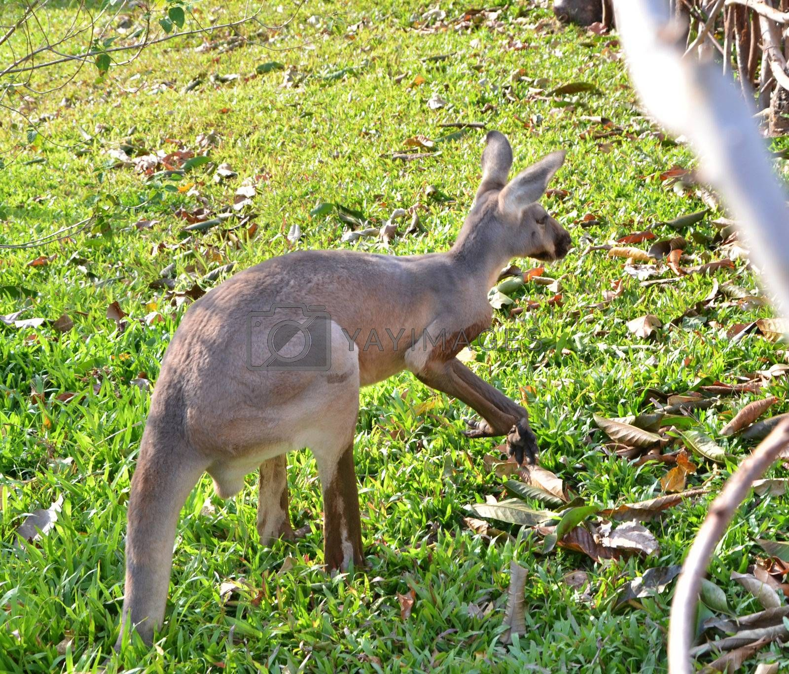 Young kangaroo in a thailand zoo