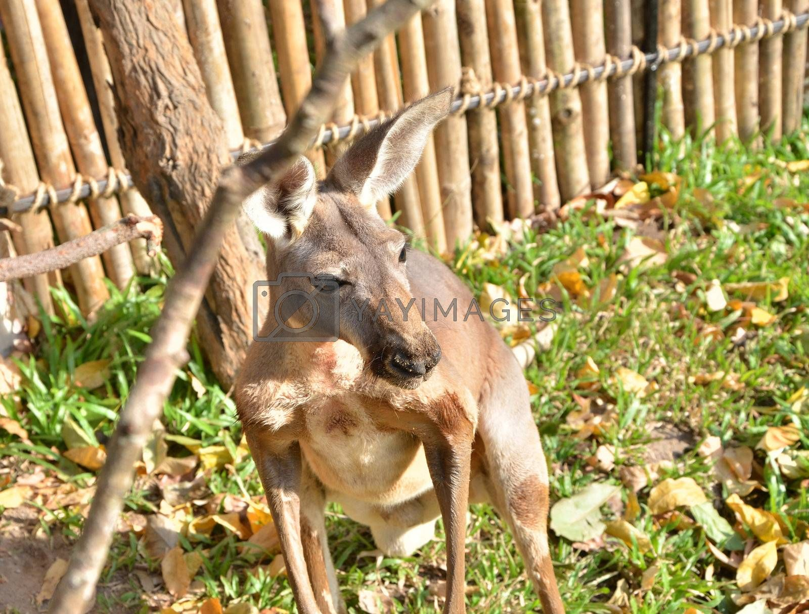 Close up of alert grey kangaroo