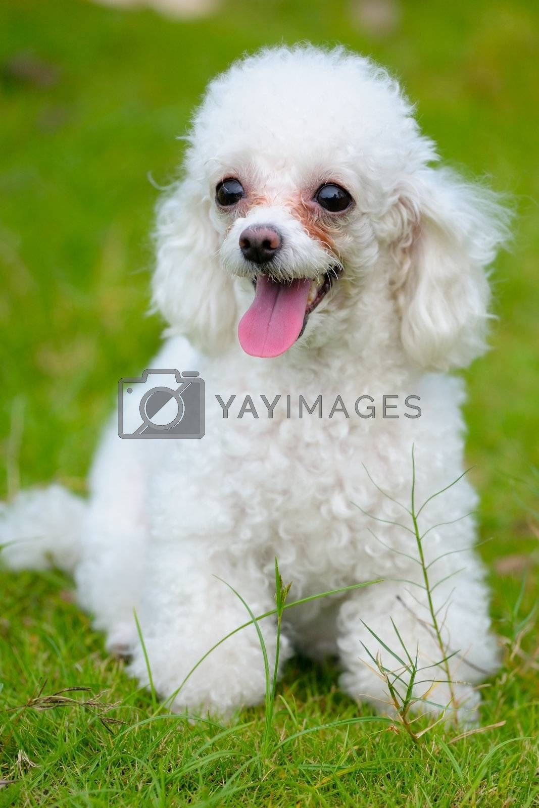 A little toy poodle dog standing on the lawn