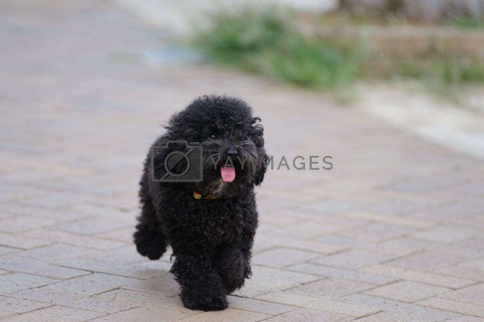 A toy poodle dog running on the ground