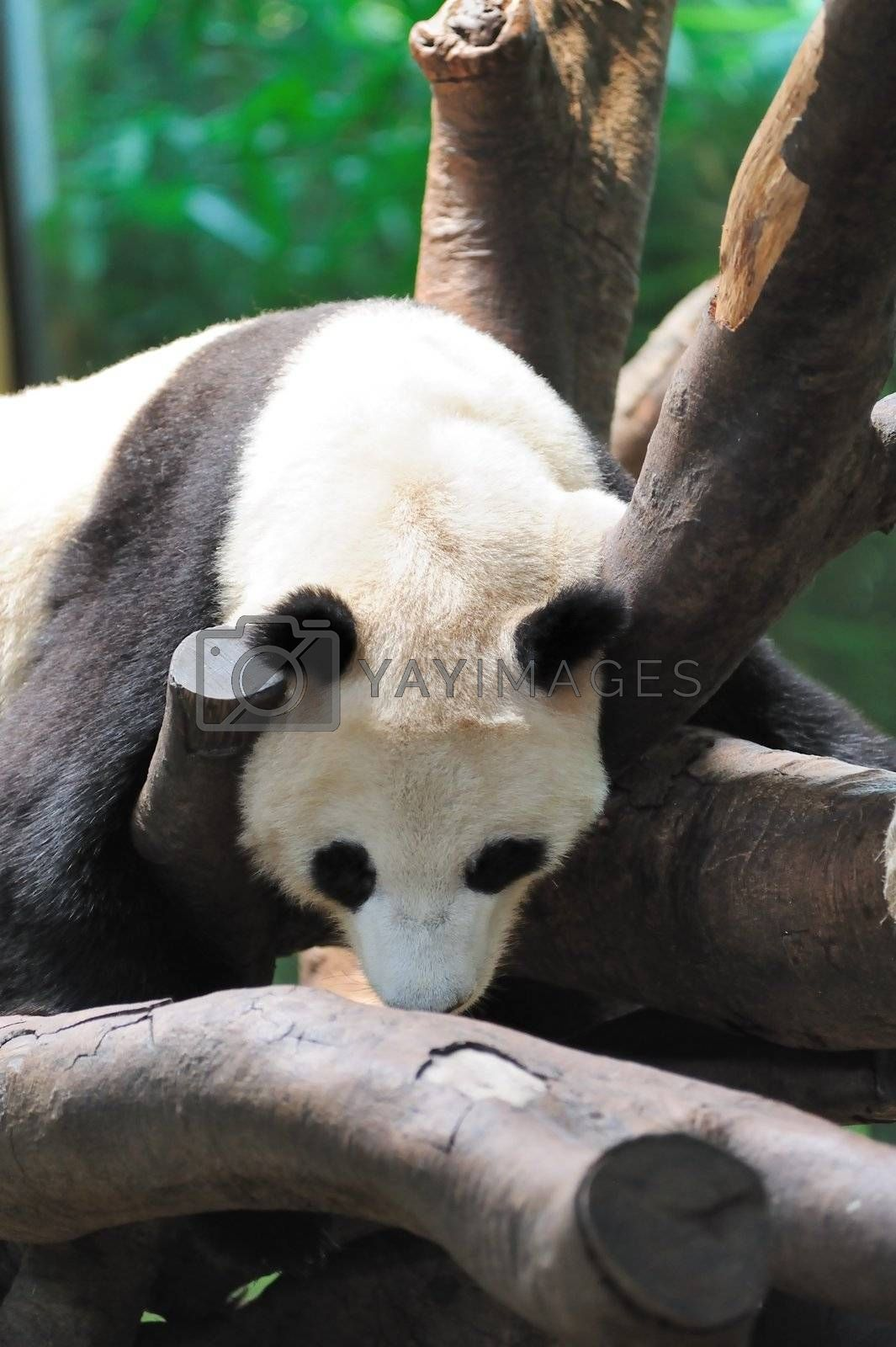 A giant panda lying on the tree branch and sleeping