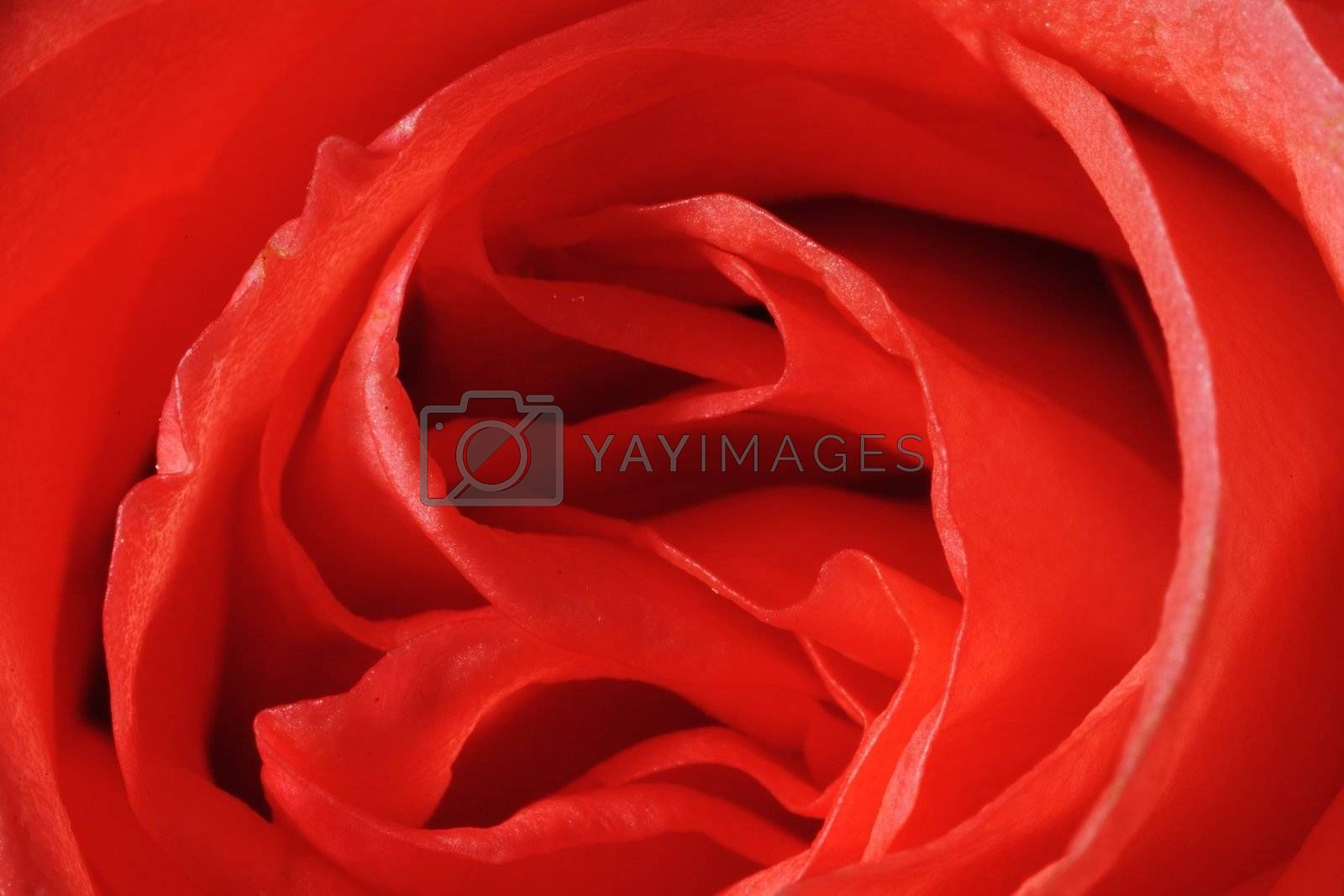 Close-up shot of a red rose flower